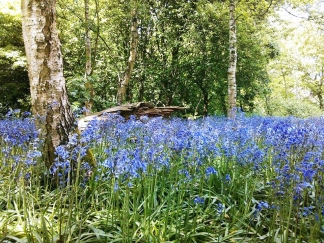 Bluebells on campus! Check!