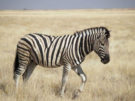 Burchell's Zebra. Photo credit: Rui Ornelas