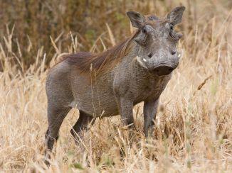 Common Warthog. Photo credit: Ikiwaner