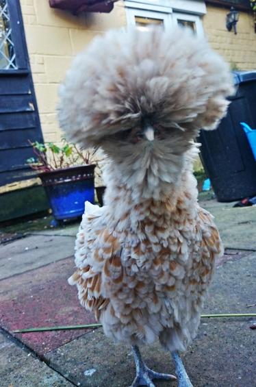 Weirdest chicken ever