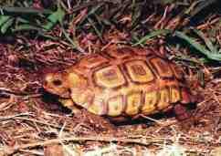 Natal tortoise. Photo credit: Abu Shawka