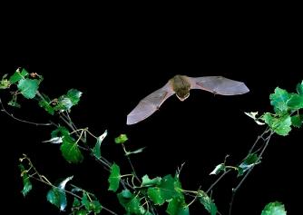 Common pipistrelle by Hugh Clark