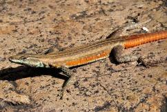 Lebombo flat lizard. Photo Credit: Kate Braun
