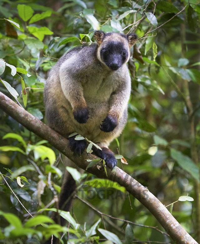 lumholtz-s-tree-kangaroo-mrw001357